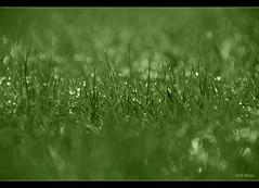Make a wish! (Veevake) Tags: seattle morning reflection green nature grass dawn backyard nikon bokeh lawn tint dew serene refreshing pleasant d90 18200vr veevake imagehallucinations