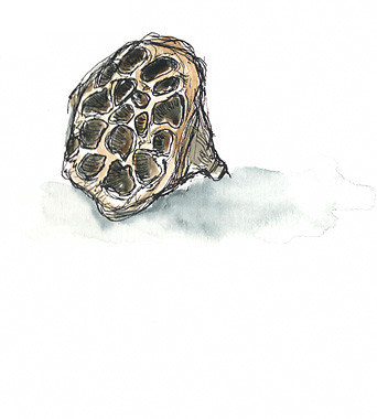 Sketchcrawl 31: Seedpod at RISD's Nature Lab, Providence, RI