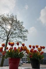 17042011-ALG_2887 (nikontino) Tags: holland de tulip di holanda bunga indah bola   olanda tulipa  tulpe tulipano  bulbo  bulbos tulipn          belanda         ichliebetulpen      tulpenzwiebel
