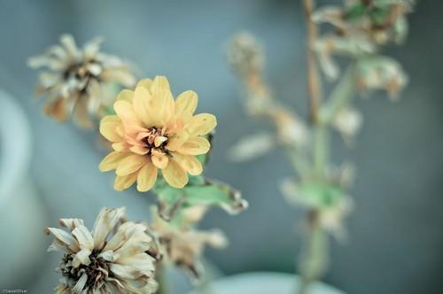 tibet flower