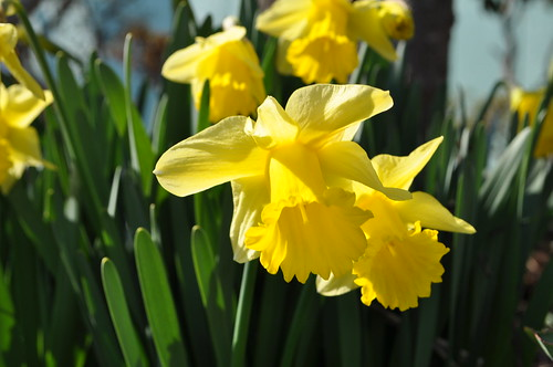 Trumpet narcissuses