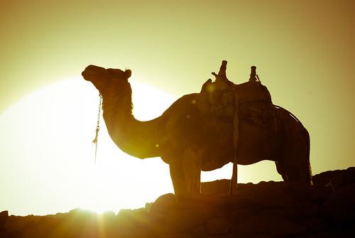 [フリー画像] 動物, 哺乳類, ラクダ, 201104241700