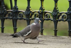 in a hurry (Katharina Becker) Tags: berlin bird closeup germany pigeon dove urbannature hurry ff nahaufnahme vogel hff columbapalumbus naturfotografie ringeltaube stadtnatur happyfencefriday hatersgonnahate naturfotografiekatharinabecker naturfotografiekatharinabeckerberlin fotografiekatharinabeckerberlin fotografiekatharinabecker stadtnaturberlin