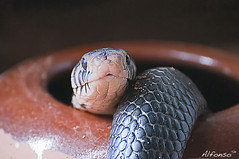 Serpiente Cobra de Bosque (alfonso-tm) Tags: cobra reptiles serpientes