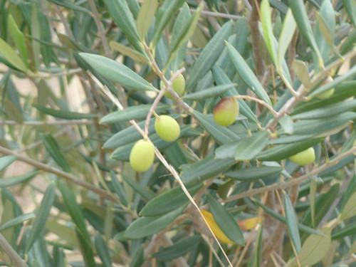 olive grove - 2