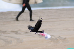 TheChokingCrow (mcshots) Tags: california usa bird beach birds trash neck coast losangeles stock flight strangle socal plasticbag crow mcshots twisted