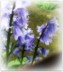 Blue Bells (♥ Katie ann. Off more than on.) Tags: damniwishidtakenthat amazingdetails mamasbloomers silveramazingdetail sheildofexcellencelevel1