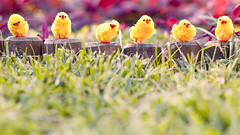 Easter (Csutkaa) Tags: chicken grass easter dof hsvt