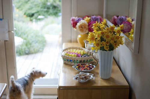 easter 2011, daffodils, circe