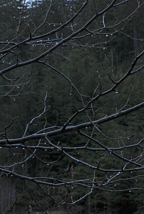 rain drops on tree branches, Kasaan, Alaska