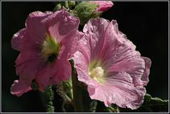 Bristly Hollyhock -   (Eran Finkle) Tags: closeup hollyhock bristlyhollyhock alceasetosa
