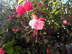 supongo q es alguna fucsia (Fipo_a_secas) Tags: arbol fucsia constitucion quintral plantaparasita