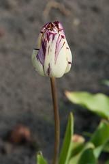 28042011-ALG_6692 (nikontino) Tags: holland de tulip di holanda bunga indah bola   olanda tulipa  tulpe tulipano  bulbo  bulbos tulipn          belanda         ichliebetulpen      tulpenzwiebel