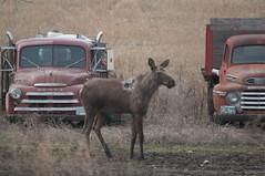 Moose - IMG7886 (gm_pentaxfan) Tags: canada geotagged pentax wildlife moose saskatchewan mossbank 2011 k20d pentaxk20d wildobs gmpentaxfan
