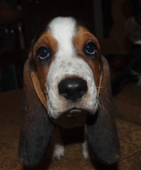 Puppy Power (piratetuba) Tags: dog puppy hound canine basset vanburen arkansas bassethound