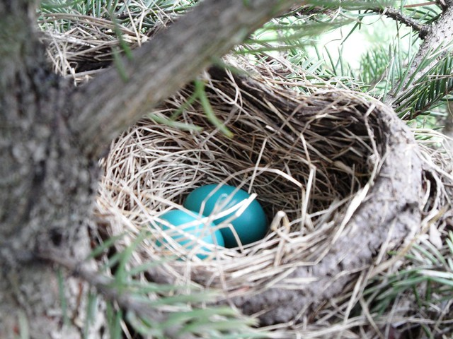 April 29-Happy found a Robin's nest with eggs