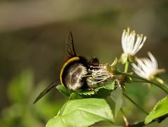 Bee-hind (Jaedde & Sis) Tags: insect bee behind sweep bigmomma 15challengeswinner motifdwinner friendlychallenges friendlychallengewinner challengefactorywinner thechallengefactory herowinner storybookwinner pregamewinner