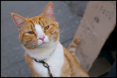 Hello! from Burrard Street, Vancouver (Eric Flexyourhead) Tags: street city urban orange canada detail cute vancouver cat ginger downtown bc bokeh britishcolumbia tabby neko  nekochan fragment burrardstreet   sigmaaf30mmf14exdchsm olympuse3