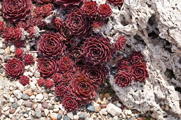 Red in the Rock Garden
