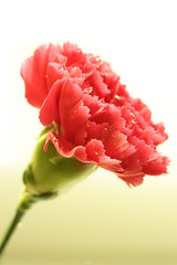 Happy Mother's Day (JKevinL) Tags: red green happy day sony may mothers carnation a900