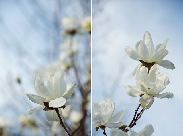 White Magnolia Diptych