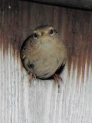 Wren (Niall McAuley) Tags: bird box wren troglodytes nesting