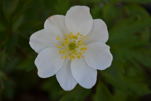 ANEMONE nemorosa 'Grandiflora'