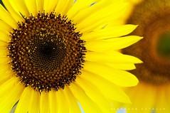 waiting to exhale! (puthoOr photOgraphy) Tags: sunflower lightroom d90 adobelightroom tokina100mm28 tokina100mmf28atxprod lightroom3 puthoor gettyimagehq