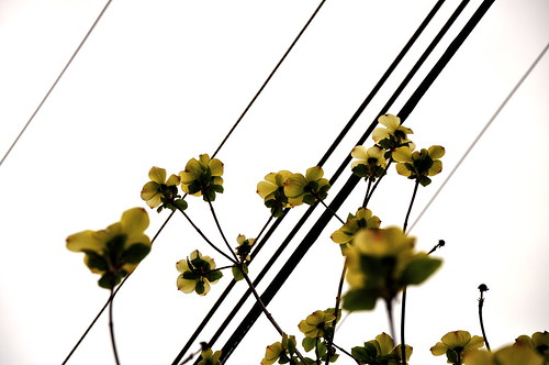 Dogwood Wires