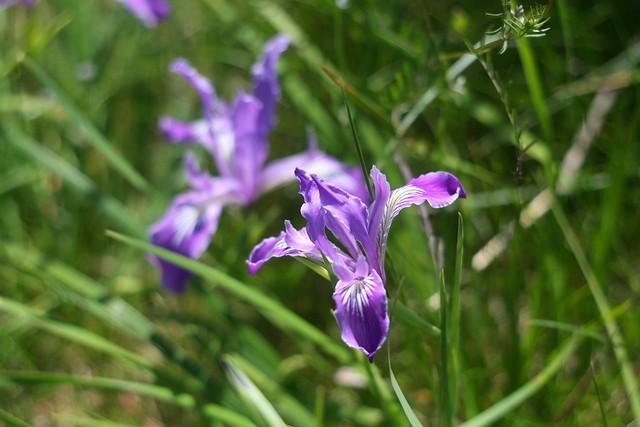 irises, tanner springs