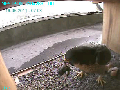 7:08 First view of first chick