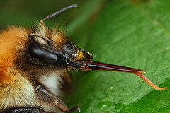 Common Carder Bee mouthparts (steb1) Tags: macro nature insect bee bumblebee hymenoptera bombuspascuorum commoncarderbee