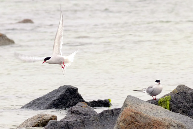 arctic tern flight 2011