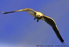 Open Skies (gustaf wallen) Tags: blue white bird nature birdinflight openskies