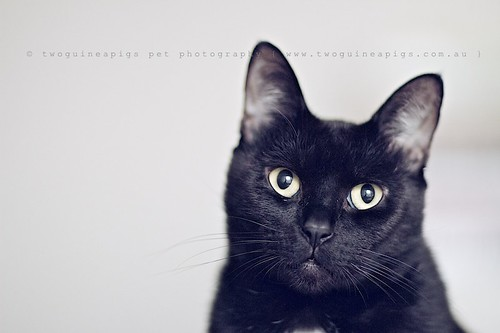 Mr Big the black cat by twoguineapigs pet photography, cat photographer