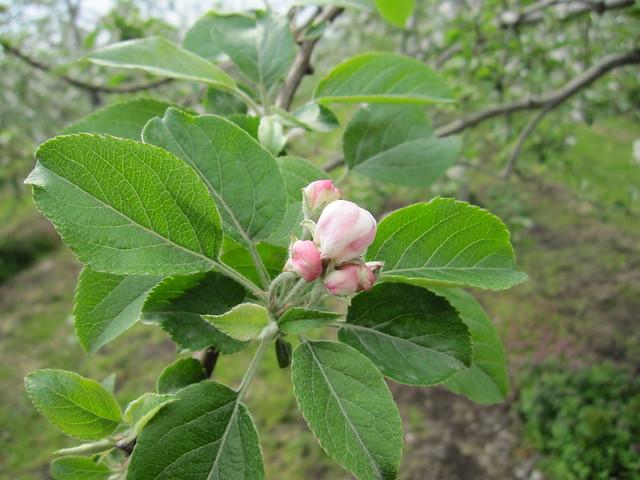 apple flower bud_20110520