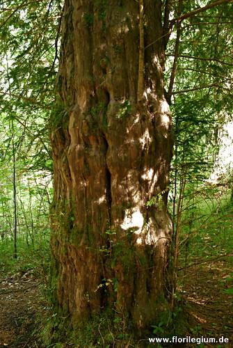 Stamm einer Eibe im Eibenwald bei Paterzell