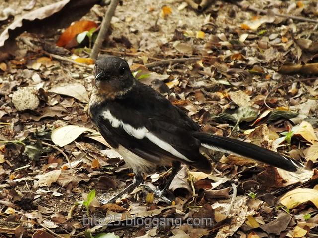 กางเขนบ้าน Oriental Magpie Robin