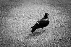 Amputee Pigeon [145/365] (Jefferson Photography) Tags: new city shadow blackandwhite bw toronto foot one hall missing pigeon amputee canon50mm project365 jeffersonphotography