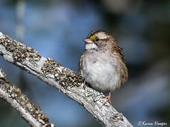 White-throated Sparrow (Karen 571) Tags: bird sparrow whitethroatedsparrow zonotrichiaalbicollis bonaventureisland gaspe