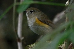 RFB. (stonefaction) Tags: red flanked bluetail denburn wood crail fife scotland rare birds nature wildlife 2013 october