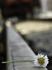 Caress of steel (Lumase) Tags: life topf25 train spring rail railway daisy fragile marillion fragility