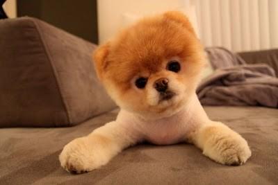 boo_Pomeranian_Dog_21