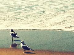 Gulls (mockstar) Tags: animals davidpoe desanimaux