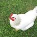 Jaya_2008_flock_6