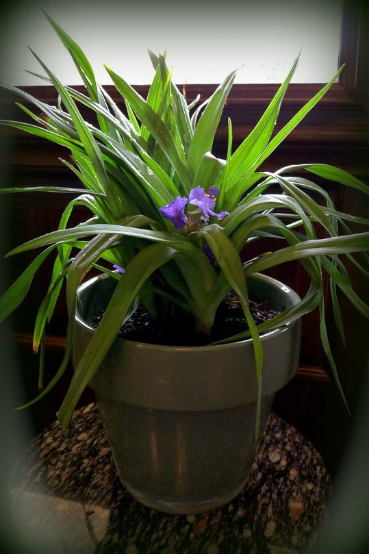Spiderwort... The Trinity Flowers