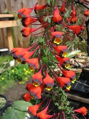 Tropaeolum tricolor (xerantheum) Tags: plants garden berkeley tricolor tropaeolum tubers tropaeolaceae geophytes