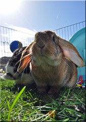 Jura (Niseag) Tags: playing rabbit bunny bunnies garden toys run rabbits lops