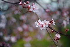 (jeslu) Tags: zeiss 35mm blossoms burnaby cherrt d700 zf2 belcara