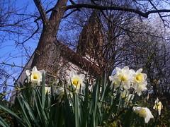 Bretten - Spring (Silandi) Tags: sky tree church germany spring europe april narcissi narcissus badenwrttemberg 2011 bretten renateeichert resilu
